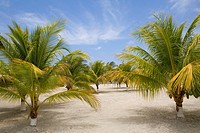 Palm trees on the beach, Las Palmas Resort, Roatan, Bay Islands, Honduras