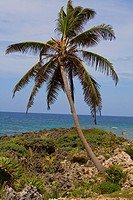 Palm tree on the coast, Roatan, Bay Islands, Honduras