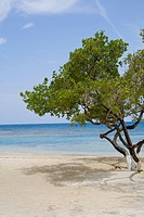 Tree on the beach, Las Palmas Resort, Roatan, Bay Islands, Honduras