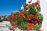 Close-up of a flower plant, Mykonos, Cyclades Islands, Greece