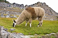 Llama Lama glama grazing near old ruins of buildings, Machu Picchu, Cusco Region, Peru