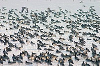 Large flock of geese resting in snowy landscape beside the IJsselmeer, the Netherlands