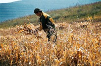 View of a man working in field reaping wheat, Guyuan County, Hebei Province of People's Republic of China, FOR EDITORIAL USE ONLY