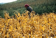 Woman reaping wheat in field, Guyuan County, Hebei Province of People´s Republic of China, FOR EDITORIAL USE ONLY