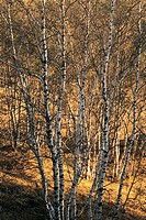 View of bare trees , White birch forest in World geology park Arab League Si Hatu in hoodoo park, Keshiketengqi, Chifeng City Inner Mongolia Autonomou...