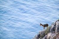 Spanish Ibex (Capra pyrenaica), Maro-Cerro Gordo cliffs. Malaga province, Andalucia, Spain