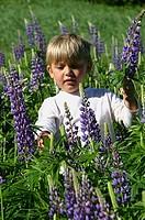 Boy 4-5 walking through field of flowers, picking Lupine