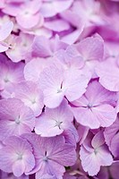 Hydrangea, close-up
