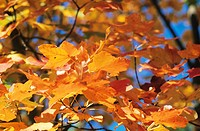 Sycamore maple in Autumn, close-up