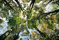 Italy, Tuscany, Casentinesi Woods National Park, Autumn trees, view from below