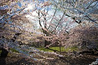 USA, New York, New York  Spring in Central Park with trees in blossom