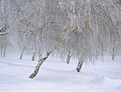 Snow and frozen fog on trees in the Wallowa Mountains of Eastern Oregon, USA