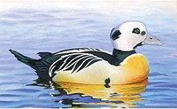 An illustration of a stellers eider