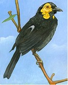An illustration of a honeyeater