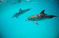 Atlantic spotted dolphin, Stenella frontalis, Bahamas, Atlantic Ocean, intelligent, spotted, spinner, dolphin, dolphin