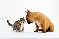 young French Bulldog and kitten