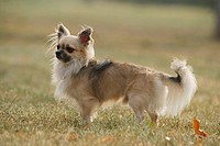 Chihuahua - standing on meadow