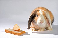 lop-eared dwarf rabbit - cut out