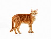 domestic cat - standing - cut out restrictions: Tierratgeber-Bücher / animal guidebooks