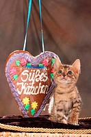 Bengal kitten next to gingerbread heart