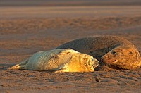 grey seal with cub / Halichoerus grypus