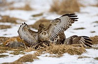 two common buzzards - fighting / Buteo buteo