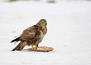 common buzzard with prey / Buteo buteo