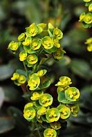 Spurge (Euphorbia sp.)
