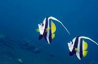 Longfin bannerfish ( Heniochus acuminiatus).  Indonesia.
