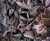 Acer pseudoplatanus, Sycamore