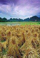 Rice stooks, Guangxi, China,