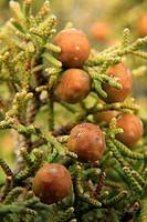 Phoenician juniper (Juniperus phoenicia). Peñascabia. Castellón province, Spain.