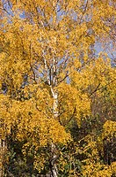 Forest, trees, birch, autumn,