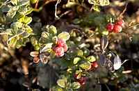 Plants, berries, frost, cold, late-night-autumn,