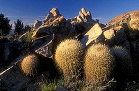 Barrel cactus on a hill, Mid-Hills, Mojave National Preserve, California, USA
