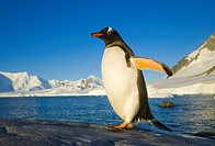 Gentoo Penguin Walking on Coastal Rock