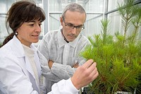 Pinus radiata selection for disease resistance, biosafety greenhouse, P2, Neiker Tecnalia, Instituto de Investigación y Desarrollo Agrario, Ganadero, ...