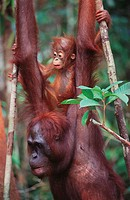 Bornean Orangutan (Pongo pygmaeus) with young on back. Borneo