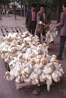 Hauling ducks to market, Chongqing. Sichuan, China