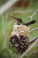 Anna's Hummingbird (Calypte anna) on nest. Sonoran Desert, Arizona, USA