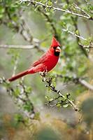 Northern Cardinal (Cardinalis cardinalis). Texas, USA