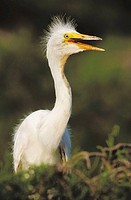 Great White Egret (Egretta alba). Louisiana, USA