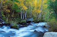 Aspen forest in a canyon of the South fork of Bishop Creek, Inyo National Forest. California, USA