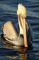 Pelican in mornig light at Bolsa Chica wetlands, Huntington Beach, California, USA