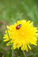 Dandelion flower with ladybird