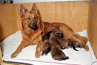 Old, German, Shepherd, bitch, with, puppies, 8, days
