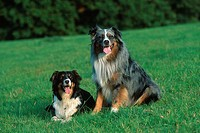 Australian, Shepherds, pair