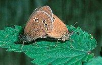Ringlets, pair, mating, Lower, Saxony, Germany, Aphantopus, hyperantus, , side