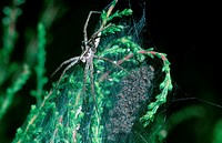 Fantastic, Fishing, Spider, with, youngs, Lower, Saxony, Germany, , , Pisaura, mirabilis