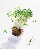 Cress with roots in growing medium